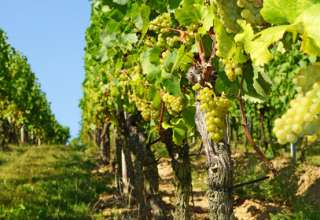 Inhalt des Artikels sind die verschiedenen Weinanbausorten.