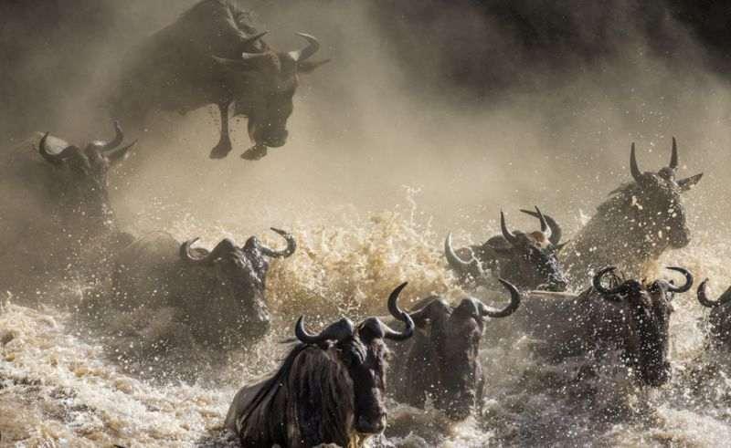 Massensterben der Gnus nimmt positiven Einfluss auf Ökosystem