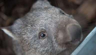 Deshalb verschwand Australiens Megafauna