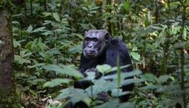 Riskantes Unterfangen: Schimpansen-Patrouille